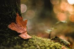 The silence's still too loud. (Joe Effendi (Always Late!)) Tags: effendi nature fall autumn leaf color denhelder outdoor dof depthoffield 2016 takumar 50mm m42 bokeh supermulticoatedtakumar50mmf14