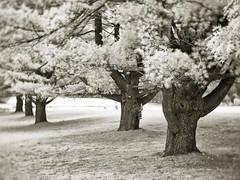 PB020437 - Land of Giants (Syed HJ) Tags: olympusomdem5 olympusem5 olympus em5 fujian35mmf16 fujian35mm fujian 35mm cctvlens blackandwhite blackwhite bw infrared ir 720nm trees tree nashua nashuanh