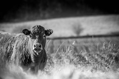 The Fall Grazer (Marc Filice) Tags: livestock cow heifer cows beef cattle autumn animals animal farm fall black beautiful white grass glow field forest canada canon t3i trees sun light contrast cold wind clarity ontario monochrome mothers outdoors outdoor outside pasture hay alfalfa october