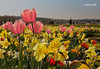 Couleurs d'Eté ♫☺ (bernard78br) Tags: 1740mmf4canon 60d canon castleofversailles chateaudeversailles dxo eos fleur flower lightroom6 logicieltraitementimages objectifsreflex photographie versailles garden jardin nature tulip tulipe ville