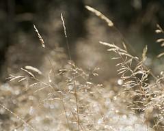 Sunlit grasses (Ali's view) Tags: alisonhall sunlight bokeh bright golden damp droplets dew