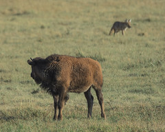 Better Watch Your Back (matthewschonert) Tags: bison coyote hunting buffalo american yellowstone national park yellowstonenationalpark nationalpark ynp america north mountain rocky mountains lamar valley lamarvalley northeast wildlife nature animals stalking green grass mammal large canine summer august wyoming wy northeastentranceroad