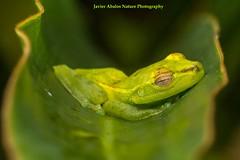 Green frog in Mindo, Ecuador (Javier balos lvarez) Tags: mindo ecudor frog anura amphibians sleeping leaf macro nature naturaleza biodiversidad hoja verde rana ventosa sticky