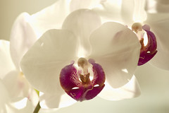 Orchid (Svein K. Bertheussen) Tags: orkide orchid blomst flower motlys backlight backlitflower blomstimotlys