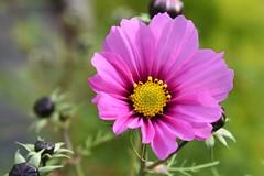 DSC_3202 (PeaTJay) Tags: nikond750 reading lowerearley berkshire macro micro closeups gardens outdoors nature flora fauna plants flowers