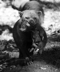 Mum and pup (Mrs_Hadfield) Tags: bush dogs pup monochrome black white light zoo captive uk nikon d600 nature