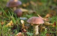 Fungi 2016 - 295 (Lostash) Tags: nayure life mushrooms toadstools fungi fungus mycology seasons autumn
