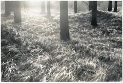 Holy Grass - print version (Mark Dries) Tags: ma markguitarphoto markdries pentax asahi 200mm40 takumar 35mm smallfilm darkroomprint selenium sepia fb baryta