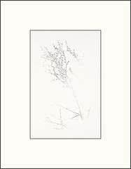 Thistle (Bob R.L. Evans) Tags: weed winter simple minimalism