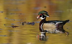 Fall star (Jeannine St. Amour) Tags: duck waterfowl woodduck nature wildlife fall