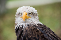 EAGLE (Aitzol Arruabarrena) Tags: cabarceno d800 tokina 300 animals animaliak