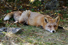 Taking a rest (Pivi ) Tags: wild fox forest lyingdown relaxing oslo norway october2016 autumn day cloudy