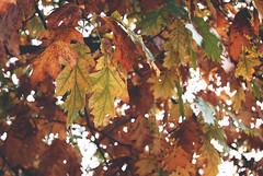 Leaves (Sareni) Tags: sareni selovenia slovenija maribor mb park mestnipark leaves leaf list lisce light svetlost colors boje vintage mate autumnleaves fall autumn jesen october 2010 twop