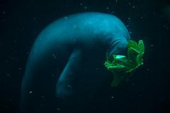 Gnam! (darioseventy) Tags: lamantino lamantine seacow animals animali acquariodigenova sottacqua underwater sfondonero acqua water