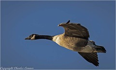Canada Goose (cconnor124) Tags: billinge england unitedkingdom gb canadageese geese waterbirds largebirds birdsinflight birdphotography uknature nature naturephotography carrmilldam canon100400lens canon7dmk11