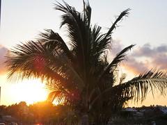 COCONUT TREE (PINOY PHOTOGRAPHER) Tags: coconut tree legazpi albay bicol bicolandia luzon philippines asia world sorsogon