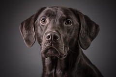 Ledger, the Chocolate Lab (Brian Tomlinson) Tags: chocolatelabrador labradors dog dogs dogportraits petphotographer miltonkeynes