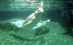 lb-019-2002-014 (Paul-W) Tags: connecticut mysticaquarium 2002 vacation mystic beluga whale tabk