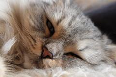 Fauler Sonntag (Vasquezz) Tags: katze cat sibirischekatze sibirische sibirisch siberiancat siberian сибирскаякошка сибирская кошка waldkatze forestcat fussel naturemasterclass damncool