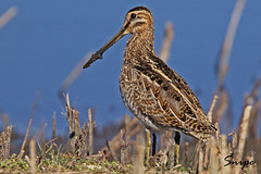 SNIPE /FROM THE ARCHIVES . (Tom Webzell) Tags: naturethroughthelens