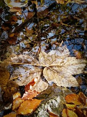 The fallen (Gina@Honley) Tags: puddle phone prime6 vodafone leaves water reflection highlights fallen autumn neutral tonal sycamore