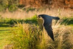 Peregrine Falcon D50_5569.jpg (Mobile Lynn) Tags: hawkconservancytrust birdsofprey birds nature peregrinefalcon captive bird birdofprey fauna raptor wildlife testvalleydistrict england unitedkingdom gb