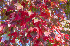 Red Autumn (J.L. Ramsaur Photography (Thank You for 4 million ) Tags: jlrphotography nikond7200 nikon d7200 photography photo cookevilletn middletennessee putnamcounty tennessee 2016 engineerswithcameras cumberlandplateau photographyforgod thesouth southernphotography screamofthephotographer ibeauty jlramsaurphotography photograph pic cookevegas cookeville tennesseephotographer cookevilletennessee nature outdoors macro macrophotography closeupphotography closeup dof depthoffield bokeh godsartwork naturespaintbrush fall fallcolors fallleaves fallseason fallinthesouth colorful colors autumn autumncolors autumninthesouth autumnleaves falltrees autumntrees red redautumn leaves leaf redleaves redleaf redfall