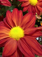 November Joy (EDWW day_dae (esteemedhelga)) Tags: nature season flowers plants bloom botany nursery parks blossom perennial annual bud cluster floret floeret efflorescence seedling biennial greenery bouquet posy rosette natura mothernature greatmother damenature vegetation horticulture flora botanical juncture natural beauty creation siring passion sprout esteemedhelga edww daydae