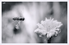 Love at first sight (VandenBerge Photography) Tags: nature hoverfly macro ef100mmf28lmacroisusm canon closeup flower insect fly flying blackandwhite monochrome