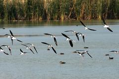 Black-necked stilts in flight (lmligocki) Tags: wadingbird flight portaransascorpuschristi texas usa