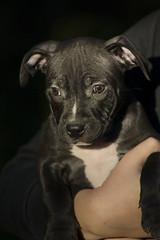 aaaaa (essikoho) Tags: apbt americanpitbullterrier pitbull puppy adba