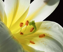Lily (Close-up) (Roniyo888) Tags: white yellow lily flower closeup pistil stigma filament