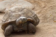 Turtle (runeurope) Tags: wildlifeworldzoo lichfieldparkaz arizona az turtle schildkrte tortoise galapagostortoise
