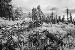 Dead Forest, Grand Canyon, North Rim (jev) Tags: grandcanyonnationalpark grandcanyon hualapaitribalnation trielmar161821mm unescoworldheritagesite coloradoriver leicam8 northrim 06000000 06002000 06002002 06007000 avenon az hdr super wate arizona blackandwhite blue digitalinfrared ecology environmentalism geological geology infra infrared landscape monochrome nationalpark spectrum surreal white wide wwwartqcom