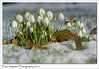 Snowdrops in the snow (Paul Simpson Photography) Tags: flowers snowdrops snwdrop winter spring snow imagesof imageof photoof photosof paulsimpsonphotography green littleflowers february2015
