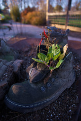Beauty of Sole (Dane Vandeputte) Tags: nikon d7200 nikond7200 sigma1750mmf28exdcoshsm cantigny park cantignypark wheaton il wheatonil illinois boot shoe evening bokeh worn weathered old plants peppers pepper dirt soil wheelbarrow autumn fall drmartens