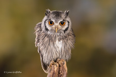 Southern White-faced Owl D75_5752.jpg (Mobile Lynn) Tags: southernwhitefacedowl owls birds nature captive bird fauna ptilopsisgranti strigiformes wildlife nocturnal ringwood england unitedkingdom gb