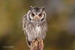 Southern White-faced Owl D75_5752.jpg (Mobile Lynn) Tags: southernwhitefacedowl owls birds nature captive bird fauna ptilopsisgranti strigiformes wildlife nocturnal ringwood england unitedkingdom gb