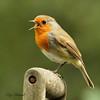Robin (roywez67) Tags: robin robins bird nature wild wildlife garden outdoor red sefton liverpool canon 7d spade songbird song thrush animal