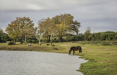 Serenity.... (Explore) (GPC- photos) Tags: horse newforest hampshire serenity quiet woods trees forest colours autumn pony wild canon700d explore explored