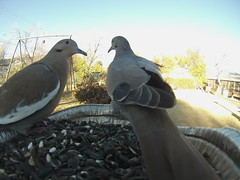 /Birds /November 18, 2016 (royce kitts) Tags: eurasian collared doves birds backyard bird feeders gopro