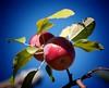 Macintosh (vinnie saxon) Tags: apple macintosh red tree season fruit bluesky nature leaves canon