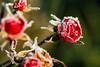 🌹 Frozen Roses (Wenninger Johannes) Tags: rose roses rosen flower blume frost freeze frozen eiskalt gefroren blumen makro makrofoto makrofotografie macrophoto foto fotografie photography photo linz austria österreich canoneos70d