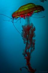 Aquarium du Québec (jsvachon) Tags: aquarium quebec québec méduse animal animaux