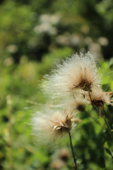 Make a Wish (DanielleElizabethPhotos) Tags: wishes flower dandelion