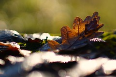 Leaf close up (Wiktor Sobiecki) Tags: autumn jesie li leaf close up sony a6000 sel50f18 f18 50 mm ilce forest park nature sharp bokeh
