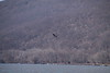 IMG_3078 (neatnessdotcom) Tags: peekskill ny westchester new york tamron 18270mm f3563 di ii vc pzd canon eos rebel t2i 550d hudson river bald eagle