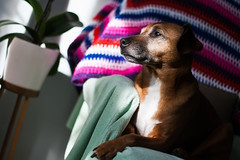 Dexter Doo (Uncle Berty) Tags: dexter doo dog pet portrait rescue stag red mini pinscher minpin natural light sitting laying bathing sunlight sun sofa chair laid blanket crocheted beautiful boy