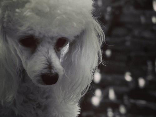 Viole. #mascota #caniche #puppy #hermosa