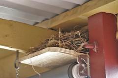 IMG_1 3859 (rustyrh52) Tags: bird nesting under verandah